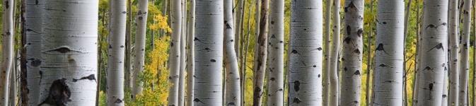 photo-aspen-trees-a2